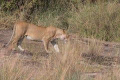 I leoni si vantano e cuccioli nel Kenia Fotografia Stock Libera da Diritti