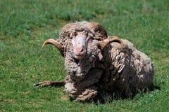 I liggande bighornRAM för äng med mycket ull Arkivfoto