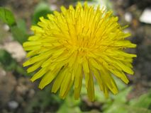 I like dandelion!. Gentle yellow color. I`ll give you a bouquet, I`ll give it to dinner stock image