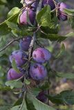 They were ripe plums in the garden parents royalty free stock image