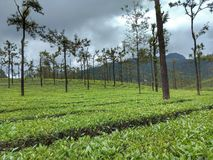 Tea plant stock images