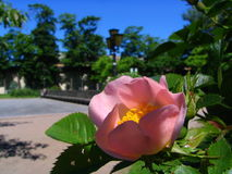 I like to have a rest in park. Flower of a dogrose Stock Photos