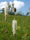 I like to walk through the meadows and collect wild flowers. Flowering plantain. There is a flowering goose-grass on meadow. Stock Photography