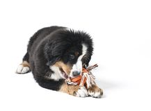 I Like Toys. Young Bouvier Bernois or Berner Sennen, portraied on white background, chewing on a toy Royalty Free Stock Image