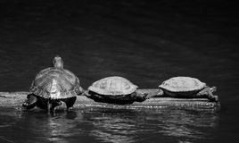 I like turtles. Three turtles sunning themselves at Golden Gardens in Seattle Stock Photo