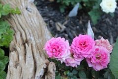 Pretty pink roses taking refuge behind a peice of wood royalty free stock image