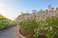 I lillà ed il percorso in giardino Immagine Stock