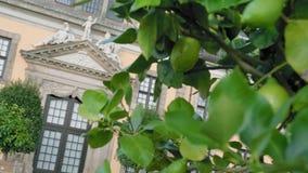 I limoni verdi si sviluppano su un albero spostando il fuoco dall'agrume al palazzo Primo piano del movimento lento archivi video