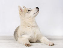 I listen carefully!. Charming puppy of a Siberian Huskies Stock Images