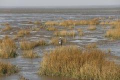 I livelli dell'acqua cadono, pescatori al fermo nella secca scoperta a bassa marea dei prodotti acquatici Immagine Stock