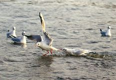 I`ll punish you. One gull from the other stole a piece of bread and the first one tries to take this piece stock image