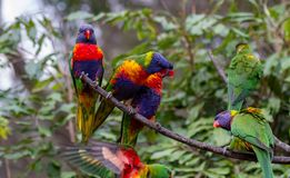 I lorikeets dell'arcobaleno si sono appollaiati su un ramo con uno che vola dentro Fotografie Stock