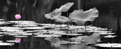 I loti nel lago Fotografia Stock