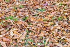 I lotti della castagna coprono di foglie a tempo di autunno Fotografia Stock