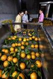 I lotti delle arance su un nastro trasportatore, donne hanno ordinato il raccolto Immagini Stock