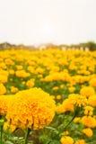 I lotti di bello tagete fiorisce nel giardino Immagine Stock Libera da Diritti