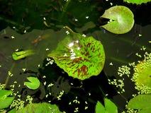 I lotusblommadammet - fiskguppy Royaltyfria Foton