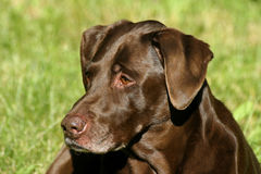 I love chocolate. Shelby, a beautiful and gentle chocolate lab royalty free stock photo