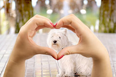 I love dogs. Woman making the heart shape with her hands and the puppy maltese dog in the middle Stock Photos