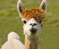 I Love Lucy the Alpaca royalty free stock image