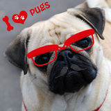 I love pugs with funny dog Royalty Free Stock Images