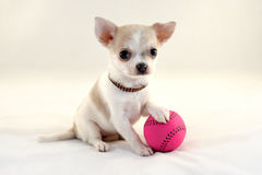 I Love Tennis! - Cute Chihuahua puppy with ball Royalty Free Stock Photos