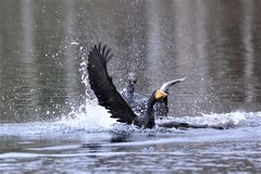 one cormorant getting fish, its fellow behind staring it