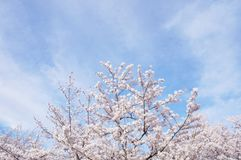 Cherry blossom and sky in Kyoto stock photo