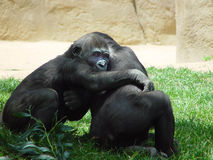 I love you. These are two apes hugging each other before lunch. They are in the shade of a large tree Royalty Free Stock Photos