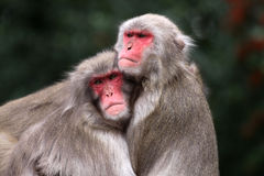 I love you!. Two japanese macaques - Macaca fuscata Royalty Free Stock Photography