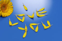 I Love You. Spelled with yellow gerbera petals on blue background Royalty Free Stock Image