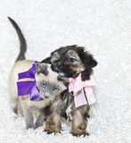 I love You!. Cute puppy and kitten loving on one another, both wearing pretty bows on a white background with copy space Royalty Free Stock Images