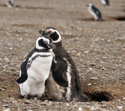 I love You. Magellanic penguins on Magdalena Island in Patagonia Stock Images