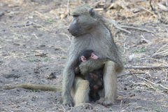 I love you mommy. A mothering baboon with baby baboon on lap Royalty Free Stock Photos