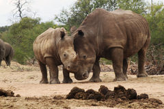 I Love you. Photo of White Rhino cow and baby in bush on hot summer day showing love royalty free stock image