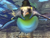 I love youuu. Lovely penguin in the world Stock Image