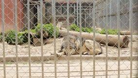 I lupi ben nutrito sono ingabbiati dietro le barre in uno zoo, il primo piano, europaeischer video d archivio