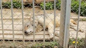 I lupi ben nutrito sono ingabbiati dietro le barre in uno zoo, il primo piano, europaeischer archivi video