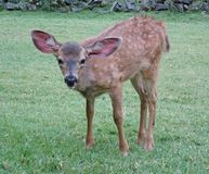 I`m all ears. A young black-tailed fawn is all ears near the Rogue River in Galice, Oregon stock images