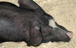 I'm bored. Black snoozing pig at an agricultural exhibition Royalty Free Stock Photos