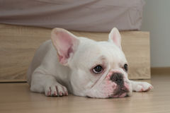 I'm bored. Bacon, He is white french bulldog squat on the ground Royalty Free Stock Photos