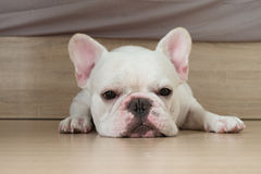 I'm bored. Bacon, He is white french bulldog squat on the ground Stock Photography