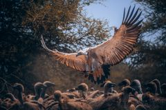 I`m the boss here. Vulture feast on remnants of dead wildebeest. It looks like chaos, but it has strict rules. Each type of vulture eats another part. One skin royalty free stock photography