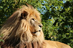 I'm the boss - Lion  Stock Images