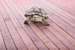I'm coming at you. Little turtle crawling towards the camera on a wooden background made of bamboo Stock Photo