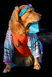 I'm So Cool. A Goldren Retreiver dressed in a cool 60's outfit Royalty Free Stock Photography