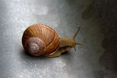 I'm easy. Land snail with a beautiful shell Royalty Free Stock Photography
