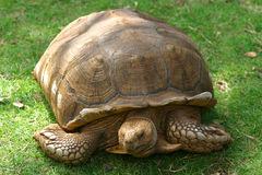 I'm Going As Fast As I Can. A giant Galapagos tortoise royalty free stock images