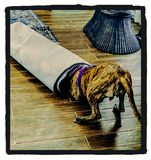 I& x27;m going in!. Im, dog, play, fun, rug, kitchen, happy, pitbull, pitty royalty free stock photo