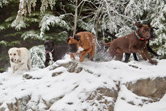 I'm going to get it!. A group of dogs fetching a stick on a hike in the snow Stock Photo